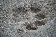52. Lion tracks in Timbavati.JPG