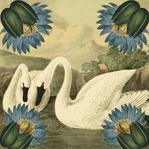 Swans - (Out of stock)