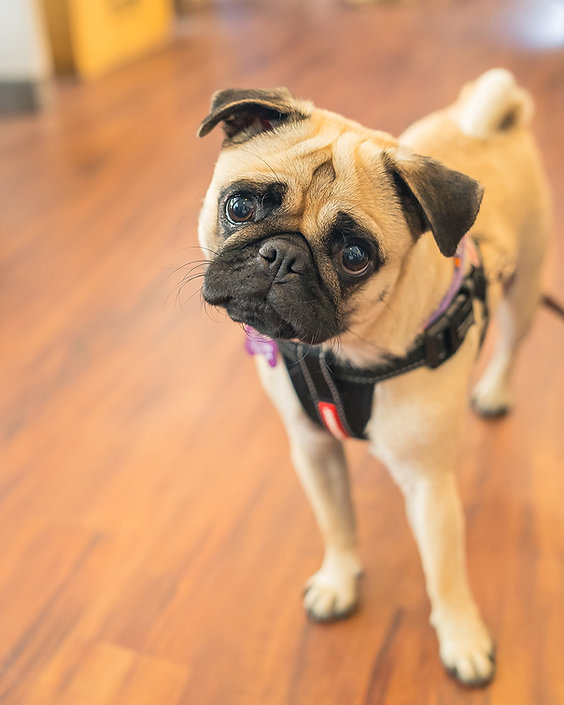 Pet Dog photography. Portrait photo. photography. Sevs Pics. Perth Photographer
