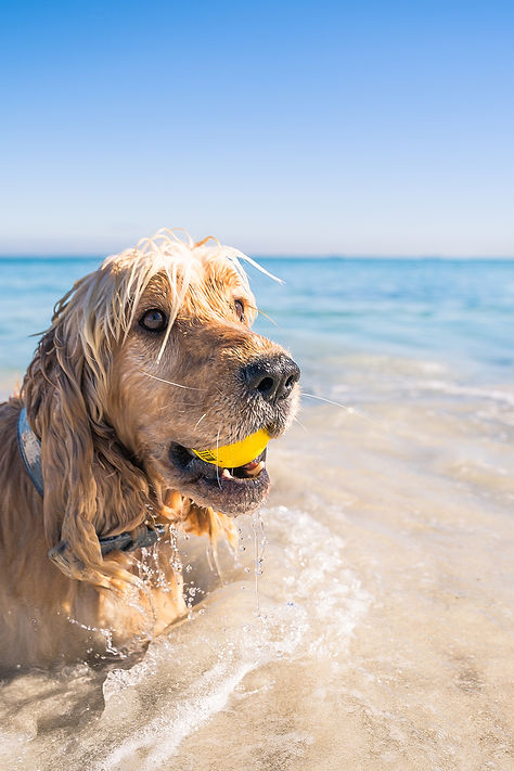 Beach. Pet Dog photography. Portrait photo. photography. Sevs Pics. Perth Photographer