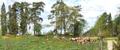 Lahisten Kartano_lehmät laitmella.jpg