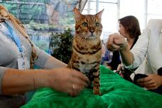 Фотоотчет с выставки кошек ИНФОКОТ.