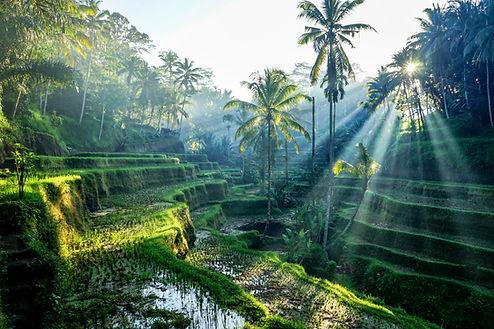 rice fields.jpg