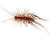 centipede_thumb.png