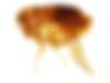 puce_de_chat_thumb.png