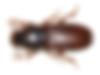 tribolium_brun_thumb.png