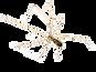 araignée pholque phalamgide