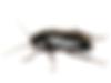 blattes_orientale_thumb.png