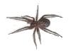 araignée Tégénaire domestique