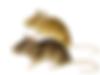 souris_commune_thumb.png