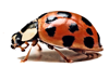 coccinelle_thumb.png