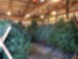 Shop indoors for a fresh Balsam or Fraser fir tree