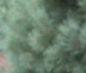 Scotch Pine Christmas tree