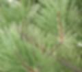 Norway Pine Christmas Tree