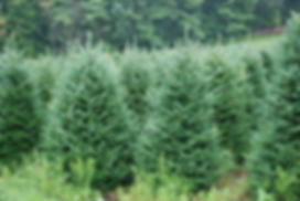 Christmas trees at Hinkemeyer Tree Farm