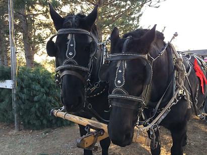 Horse drawn wagon sleigh rides throught the tree field