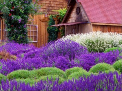 Lavender, Ellagance Purple