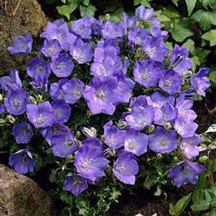 Campanula Blue Clips