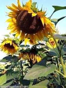 Sunflower, Mammoth Grey Stripe