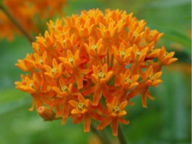 Butterfly Weed (Asclepias)