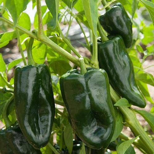 Poblano (Ancho) Hot Pepper