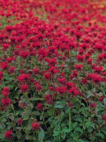 Bee Balm, Panorama Red