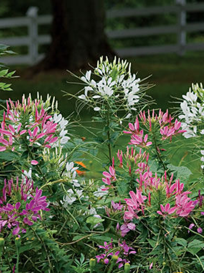 Cleome, Queens Mix