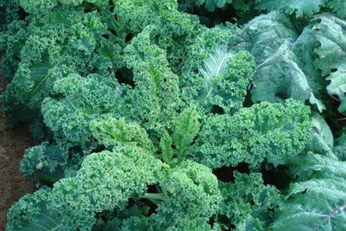 Kale, Winterbor