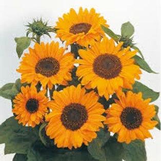 Sunflower, Soraya