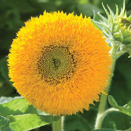 Sunflower, Teddy Bear (Dwarf)