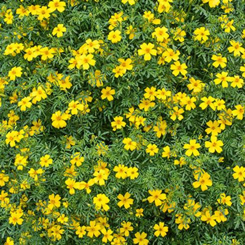Marigold, Gem Yellow