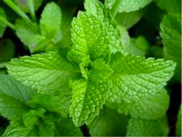 Mint, Common