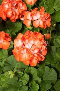 Geranium, Orange