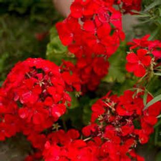 Geranium, Red