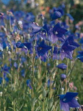 Balloon Flower, Blue