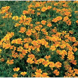 Marigold, Gem Orange