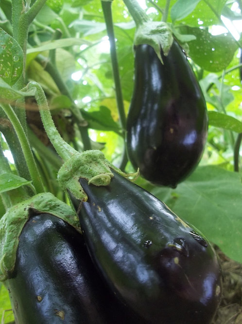 Eggplant, Galine