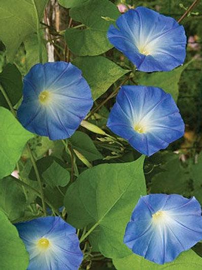Morning Glory, Clarke's Heavenly Blue
