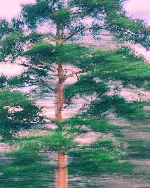 7_morning_pine.jpg