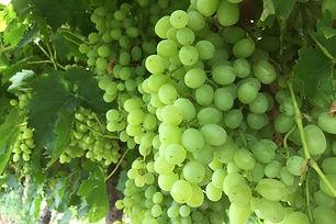 green_grape_banner-3-1030x687.jpg