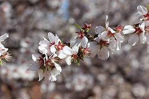 flowering_almond-1.jpg