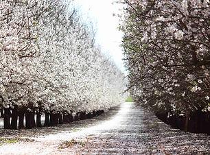 almond_flowering-1030x687.jpg
