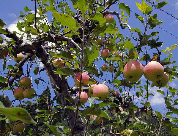 りんご02.jpeg