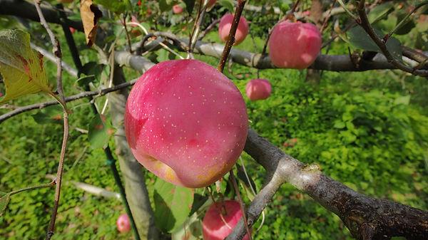 りんご01.JPG
