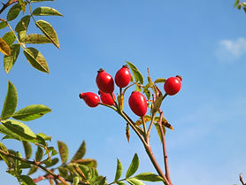rose_hips_blue_sky_green_leaves_nature_b