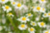 german+chamomile_edited.jpg
