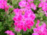 Pelargonium-peltatum-Ivy-leaved-Geranium