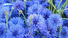 natbg.com-flowers-cornflowers-cornflower