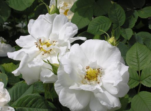 白玫瑰與大馬士革玫瑰,您喜歡誰?