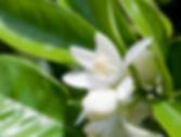 neroli-orange-blossom-e1368782153354.jpg